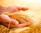 Wheat ears in the hands. Harvest concept — Foto Stock