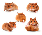 Funny Hamsters Collection — Stock Photo