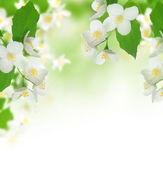 Beautiful Fresh Jasmine — Stock Photo