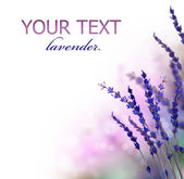 Lavender flowers border — Stock Photo
