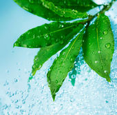 Water drops and Fresh Green Leaves — Stock Photo