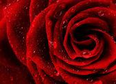 Red Rose Flower closeup — Stock Photo