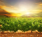 Vineyard — Foto de Stock