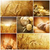 Weizen. ernte-konzepte. getreide-collage — Stockfoto