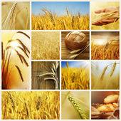 小麦。概念を収穫します。穀物のコラージュ — ストック写真