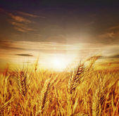 Beautiful Wheat. Sunset — Stock Photo
