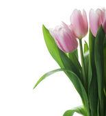 Beautiful Tulips Over White — Stock Photo