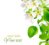 Pear Blossoms Border — Stock Photo