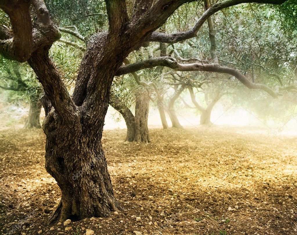 Old Olive Trees  Stock Photo #10682803