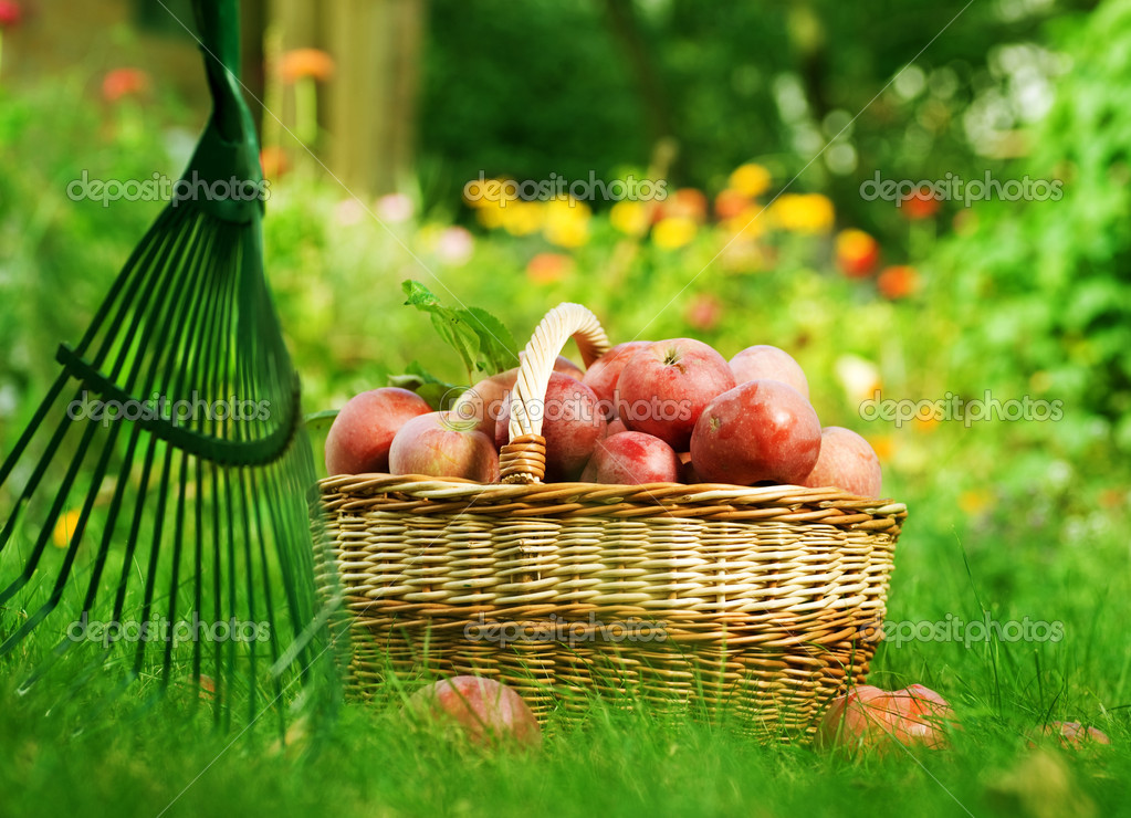 Fresh Organic Apples in the Basket — Stock Photo #10684471