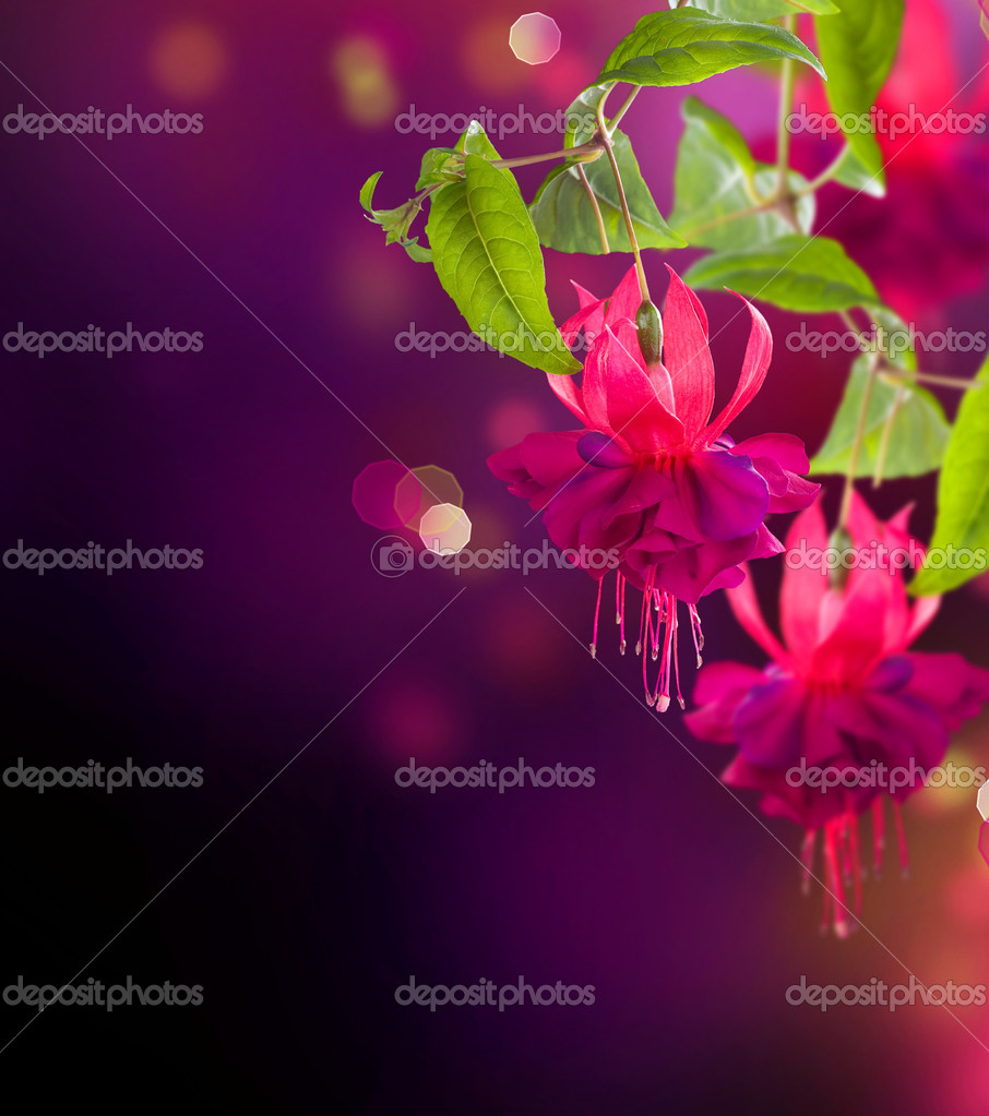 Fuchsia flowers. Abstract Floral Background — Lizenzfreies Foto #10687164