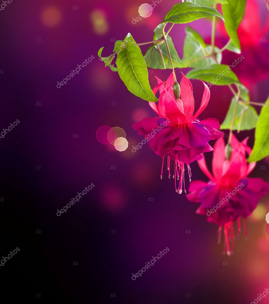 Fuchsia flowers. Abstract Floral Background   #10687164