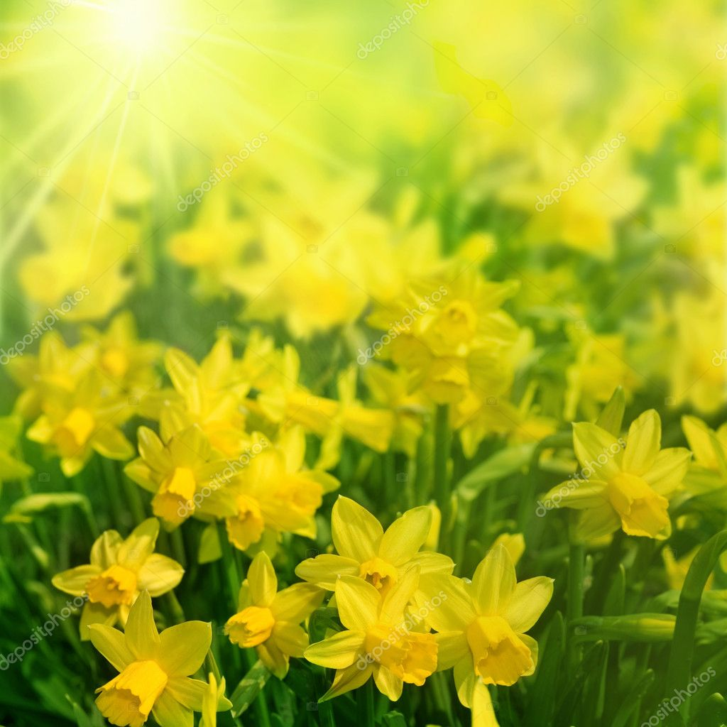 Daffodils In Sunlight — Stock Photo #10687874