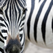 ������, ������: Portrait of a zebra