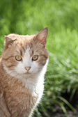 Red cat with a broken ear on the grass — Stock Photo