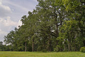 Oak wood under cloudy sky — Stock Photo