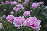 Much of large pink roses — Stock Photo
