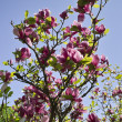 Purple magnolia flowers — Stock Photo