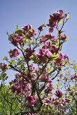 Purple magnolia flowers — Stock Photo