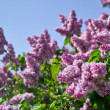 White and rose lilac in bloom — Stock Photo