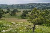 Pines on mountain plateau — Stock Photo