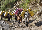 Donkey caravan in mountains of Nepal — Stock Photo