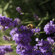 Honey bee close-up on a Lavender flower — Stock Photo