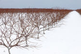 Vineyard on a snowy day — Stock Photo