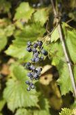 Wild Berries — Stock Photo