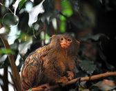 Pygmy marmosets — Stock Photo