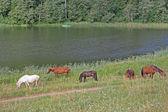 Paarden op de oever — Stockfoto