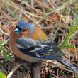 Male chaffinch — Stock Photo