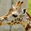 Giraffe extend her tongue — Stock Photo