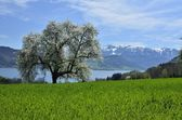 Tree on a field in the front of the alps — Stock Photo