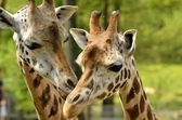 Two Giraffe wispher — 图库照片