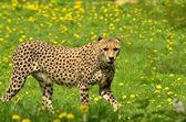 Gepard — Stockfoto