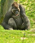 Gorilla sitting in the green grass — Stock Photo