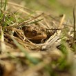 Frog hidden in the grass — Stock Photo