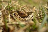 Groda gömd i gräset — Stockfoto