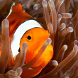 Shy clownfish in a sea anemone taken in Cabilao — Stock Photo