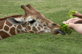 Feeding Time for a Hungry Giraffe — Stock Photo