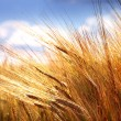 Grain field - cereal on field — Stock Photo #9561793