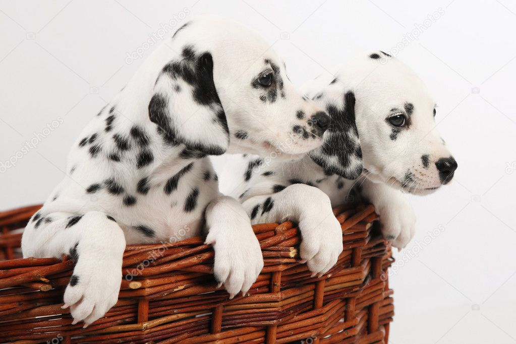 Dalmatian puppy On white background   Stock Photo #9618008