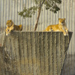 EDZR - Resting lionesses - Stock Photo