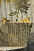 EDZR - Resting lionesses — Stock Photo