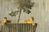 EDZR - Resting lionesses at zoo — Stock Photo