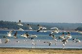 многие чайка, летать в небе — Стоковое фото