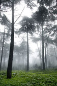 Vertical photo of pine trees in a forest with fog — Stock Photo