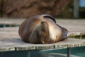 Sea ​​lion — Stock Photo