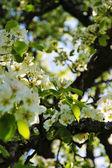 Kwitnące drzewa wiśni — Zdjęcie stockowe